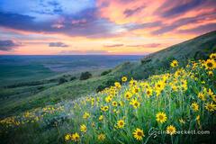 Steptoe Sunflowers print