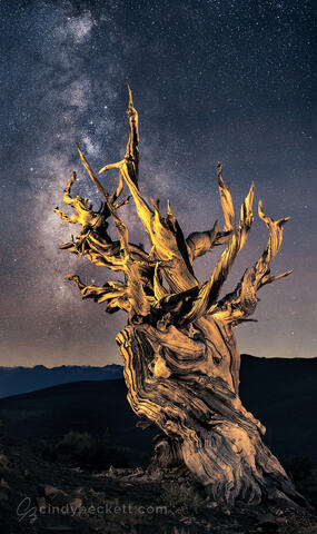 An ancient bristlecone pine reaches towards the stars in this night image taken in the high elevations of the White Mountains where these magnificent trees live