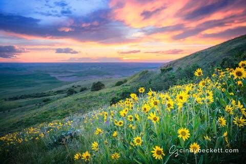 Steptoe Sunflowers