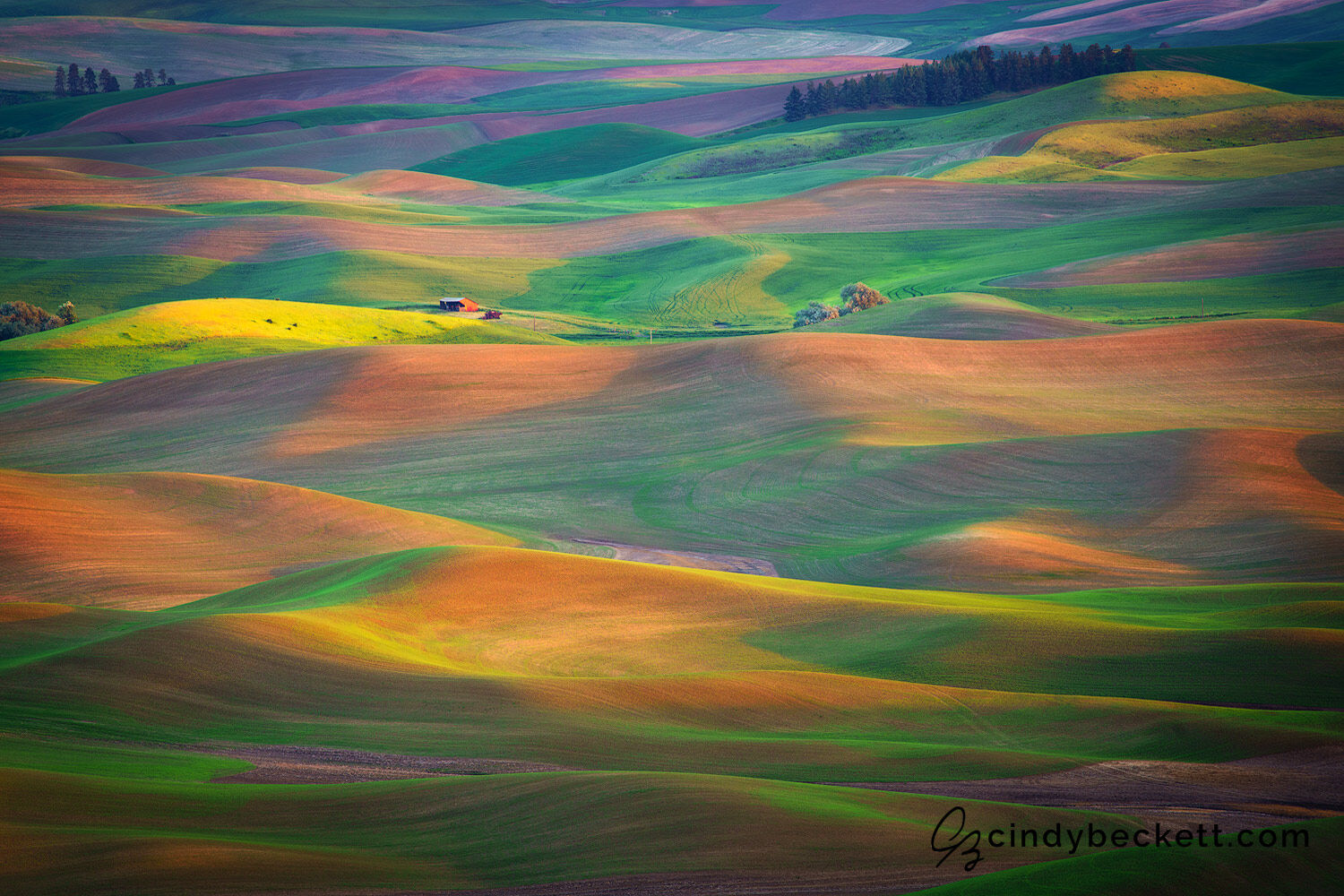 Sunset light defines the beautiful patterns and shapes and colors of the rolling hills of canola, legumes, and spring wheat in this fertile farming region.