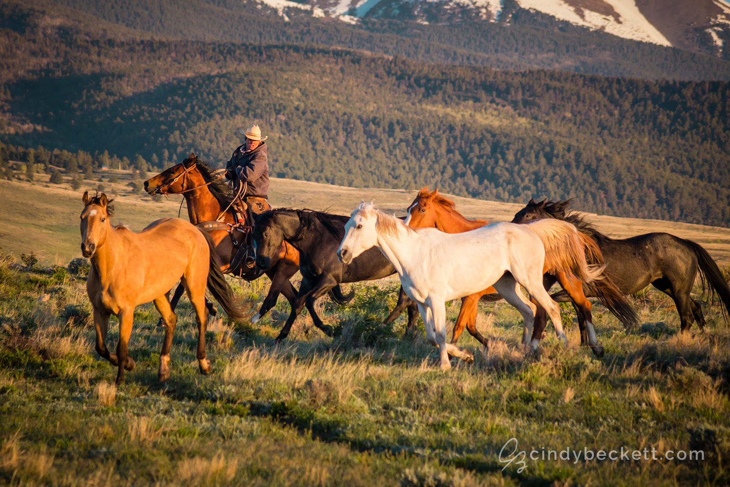 A cowgirl wrangles the ranches' working horses in the early morning hours as sunrise falls over the meadow and surrounding mountains.