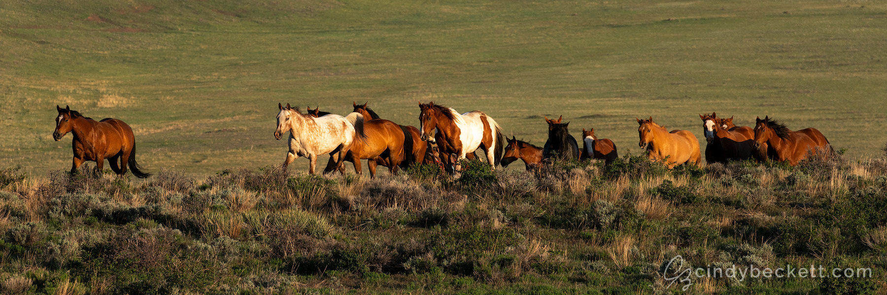 Early morning light captures a herd of horses running freely through the grass and scrub brush meadows in this high Alpine valley in central Colorado.