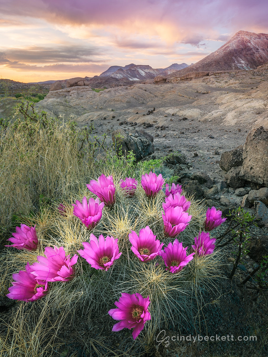 A strawberry hedgehog cactus is in full bloom on the desert hillside in the Rio Grande river canyon. Twilight shows on clouds and mountains behind the scene